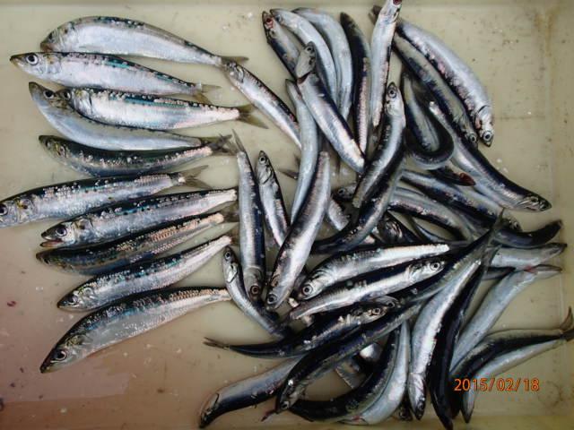買ってまで食べれないイワシも釣ったものなら食べ放題!