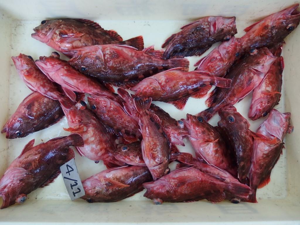 カサゴ釣り楽しいっ!